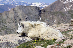 Mountain Goat. A bedded mountain goat enjoying the alpine scenery Royalty Free Stock Images