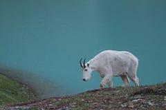 Mountain goat Royalty Free Stock Photo