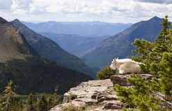 Mountain Goat. A mountain goat placidly sits on his rocky perch overlooking Hidden Lake in Glacier National Park Stock Photography