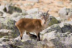 Mountain goat. Baby mountain goat royalty free stock photography