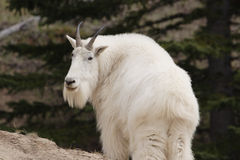 Mountain goat. Mountain goat shot in Canadian Rocky Mountains Royalty Free Stock Photography