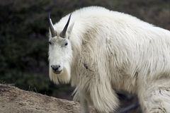 Mountain goat. Shot in Yoho National Park, Alberta Royalty Free Stock Photo
