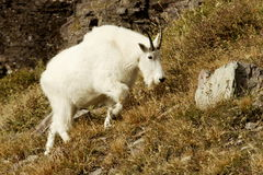 Mountain Goat. Climbing grassy slope with rocky cliff as background Stock Photo