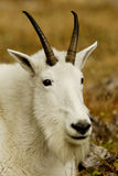 Mountain Goat. Closeup portrait of mountain goat with amber colored background Stock Images