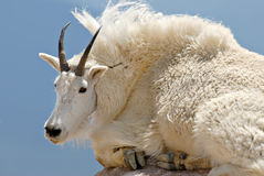 Mountain Goat Royalty Free Stock Image