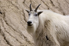 Mountain goat. A furry white mountain goat Stock Image