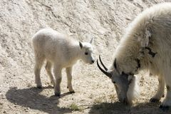 Mountain goat. Newborn mountain goats in Jasper National Park Royalty Free Stock Photos