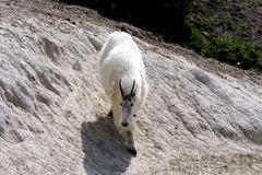 Mountain goat. Adult mountain goat showing spring loss of hair in Jasper National Park Royalty Free Stock Photography
