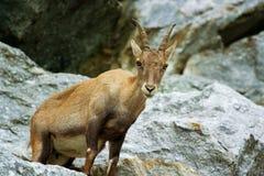 Mountain goat. On rocky landscape Royalty Free Stock Photo