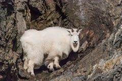 Free Mountain Goat Stock Photos - 65637663