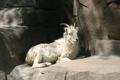 Mountain goat. A mountain goat resting in the sun on rocks at a zoo stock image