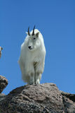 Mountain Goat Against a Clear Blue Sky. This is an image of a mountain goat with his thick winter coat looking over the edge from the summit of Mount Evans in Stock Images