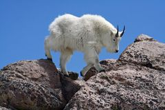 Mountain Goat Against a Clear Blue Sky. This is an image of a mountain goat with his thick winter coat walking over the rocks on the summit of Mount Evans in Stock Photos