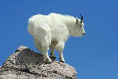 Mountain Goat Against a Clear Blue Sky Stock Images