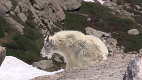 Mountain goat in the Alpine. A mountain goat in the high country stock footage
