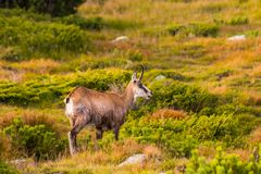Mountain goat alias Rupicapra Rupicapra Tatrica in High Tatras, Slovakia. On the way to very famous peak Krivan with height 2494 meters above sea level, in royalty free stock photo