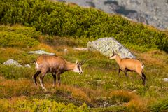 Mountain goat alias Rupicapra Rupicapra Tatrica in High Tatras, Slovakia. On the way to very famous peak Krivan with height 2494 m royalty free stock photo