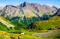 Mountain Goat Alone standing with Pride overlooking Mountain Wilderness Stock Images