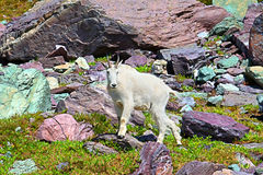 Mountain Goat Alpine Environment Royalty Free Stock Photography