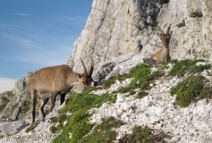 Mountain goat - Alpine Ibex Stock Photos
