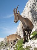 Mountain goat - Alpine Ibex Stock Photo