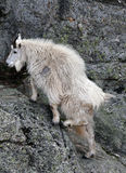 Mountain Goat ascending Harney Peak in Custer State Park in the Black Hills Stock Photography