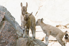 Mountain goat babies Royalty Free Stock Photography