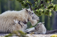 Mountain Goat & Baby. A mountain goat with her baby in the wild Royalty Free Stock Photos