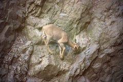 Mountain goat background. Stock Image