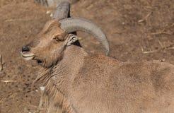 Mountain goat basking in the sun Royalty Free Stock Photos