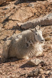 Mountain Goat Bedded Royalty Free Stock Photos