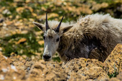 Mountain Goat Below Summit Stock Image
