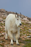 Mountain Goat Billy Stock Image