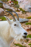Mountain Goat Billy Portrait Stock Photos