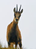 Mountain Goat, Chamois Stock Photo