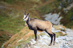 Mountain goat, Chamois Stock Photography