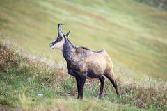 Mountain goat, Chamois Royalty Free Stock Photos