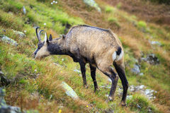 Mountain goat, Chamois Stock Photos