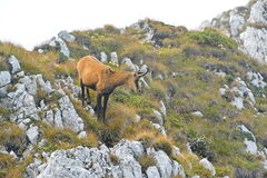 Mountain Goat, Chamois. A view of an alpine chamois on mountainside, in Carpathian mountains Stock Image