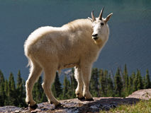 Mountain Goat Checking His Backtrail Royalty Free Stock Image