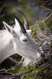 Mountain goat chewing fur-needles Royalty Free Stock Photo