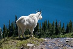 Mountain Goat on cliff Royalty Free Stock Photography
