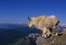 Mountain Goat on Cliff. A mountain goat stands on a rocky outcrop looking out over a mountainous landscape Stock Photo