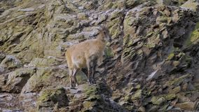 Mountain goat on the cliff. Wild mountain goat sitting on the cliff close up portrait stock video footage