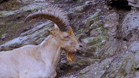 Mountain goat on the cliff. Wild mountain goat sitting on the cliff close up portrait stock video