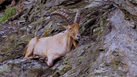 Mountain goat on the cliff. Wild mountain goat sitting on the cliff close up portrait stock footage