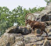 Mountain goat climbing on the rocks Royalty Free Stock Photos