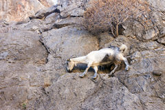 Mountain goat climbing on the rocks Stock Photography