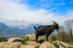 Mountain Goat. Climbing on rocks with Swiss mountain background Royalty Free Stock Photography