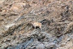 Mountain goat. Goat climbing up a cliff stock photo